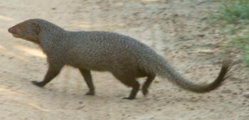 An Indian mongoose rapidly crossing a dirt road in Yala National Park