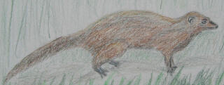 The Indian mongoose is commonly seen crossing roads and in fields.