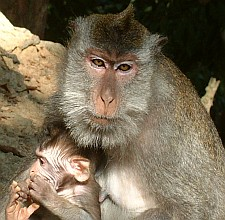 A Macaque mother and baby