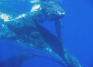 Chris's shot of humpback mother and calf, taken on a trip on Whalesong