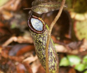 Nepenthes plant, Mt. Kinabalu