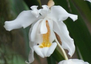 Fragrant orchids brighten the Sikkim forest