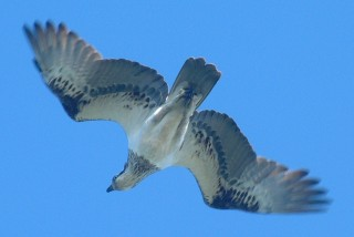 An osprey in flight over its island.