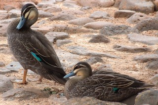 Pacific Black Ducks in Toowomba, Queensland