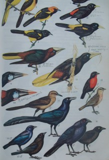 Page from Panamanian bird book