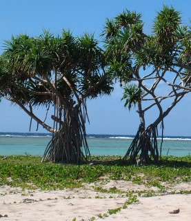 Pandanus trees withstand wind and sand and salt on this coral cay in Tonga.