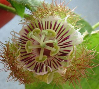The intricate passion fruit flower