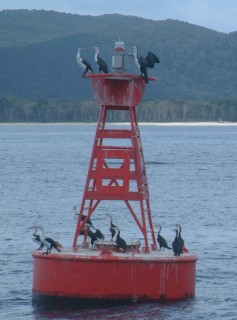 Pied Cormorants on the channel marker buoy