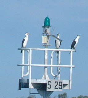 Pied Cormorants perched on a light buoy, Sandy Straits.