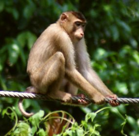 A pig-tailed macaque on the rope at Sepilok Orangutan Sanctuary, Borneo