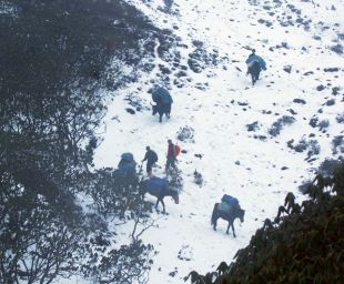 Tzo & ponies on steep trail from Dzongri, Sikkim, India