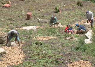At 9,000 feet in the Andes, workers pick the potato crop.