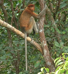 Female Proboscis Monkey with her very long tail