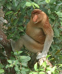 The droopy-nosed male Proboscis Monkey