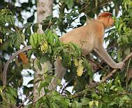 Female Proboscis Monkey up the Kinabatangan River.