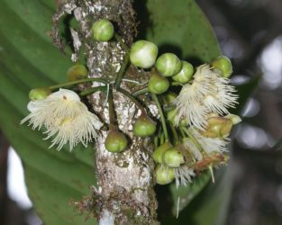 Rainforest trees may bloom on the trunk