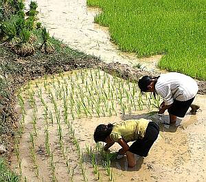 Replanting rice to spread it out