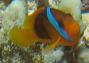 An adult Red and Black anemonefish in New Caledonia