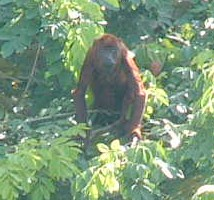 A red howler monkey stands up to check out the crazy humanoids in the boat below him.