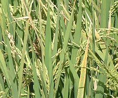 Close-up of rice plants growing