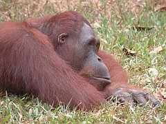 Samson, a young adult male rests on the park lawn