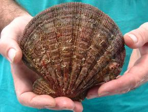 The giant scallop we found in Laguna Grande