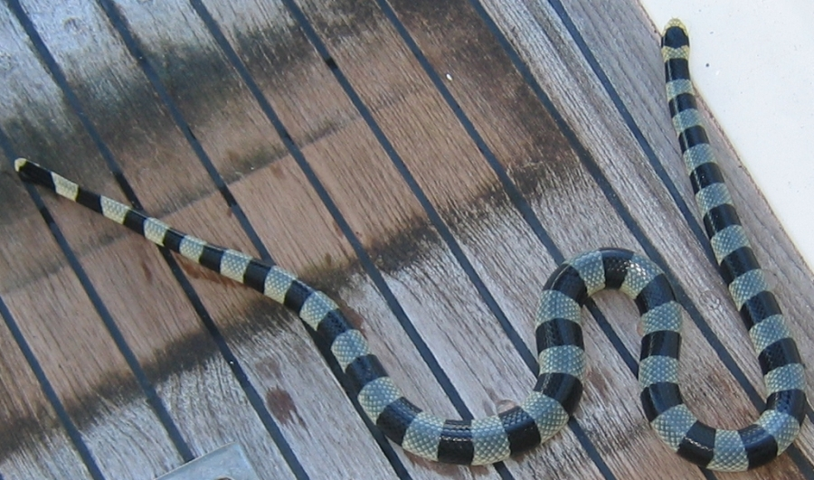 The Banded Sea Krait s bite is deadly  Luckily they are very docile    Banded Sea Snake Bite