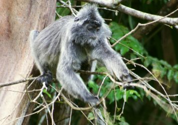 A Silver Langur reaches for leaves, Bako National Park, Borneo