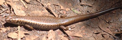 A smooth-scaled skink in the Queensland forest