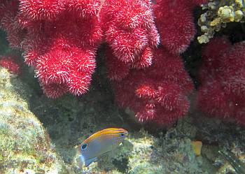 Speckled damselfish beneath a spiky soft coral