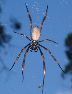 A large web weaving spider