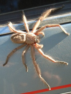 "A ""primitive"" spider on our car"