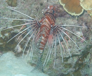 Spotfin lionfish, shot by Chris, under a ledge about 25 feet down.
