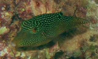 Spotted Toby Canthigaster solandri