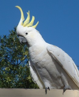 The sulphur-crested cockatoo was a frequent visitor in Canberra