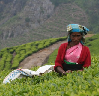 A woman picking tea leaves at a Sri Lankan plantation