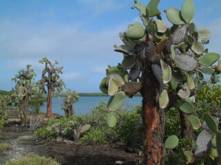 Opuntia trees on the nature trail beyond Tortuga Beach