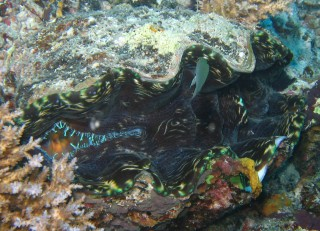Tridacna derasa, a giant clam on the bommie.