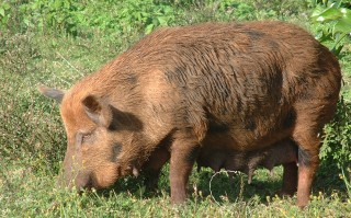 Tonga may have more pigs than people, at least in the Ha'apai.
