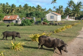 Pigs may outnumber humans on the island of Uiha.