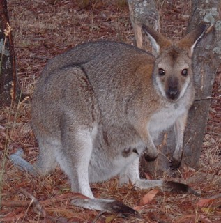 A red-necked wallaby with a joey in her pouch in the Grampians