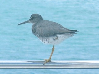 A Wandering Tattler rests on one leg on Ocelot's rail.