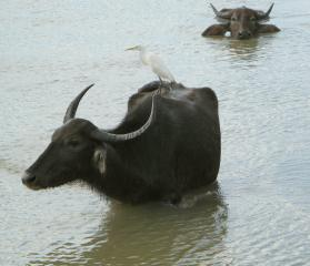 A water buffalo with cattle egret on its back