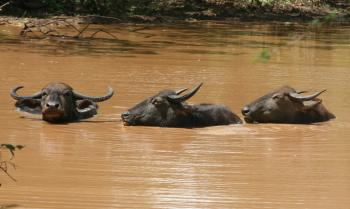 Water buffalo cooling off in a muddy pond