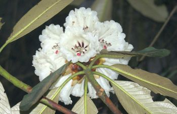 Spring blooming rhododendron on the trail