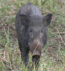 A young wild boar, head on