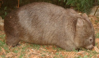 A common wombat grazes by the road, Victoria