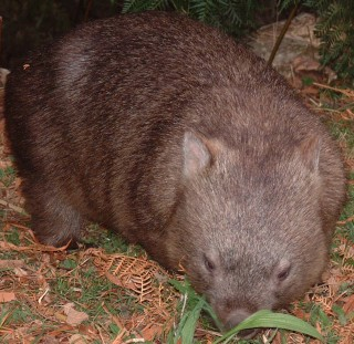 Wombats are cute, but destroy tents for food
