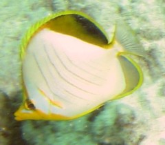 The Yellowhead Butterflyfish is