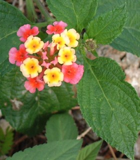 Lantana flowers can vary in color from red and crimson to orange, white or lilac.
